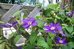 Beauty of Worcester clematis photo
