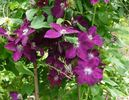 Rouge Cardinal clematis photo
