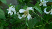 Alba clematis photo