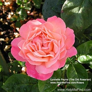 'Chicago Peace' rose photo