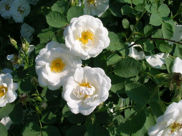 'Alba Semi-plena' rose photo