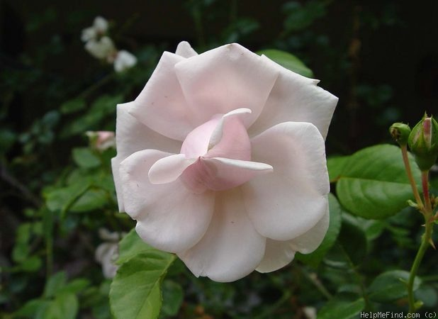 'Dr. W. Van Fleet' rose photo