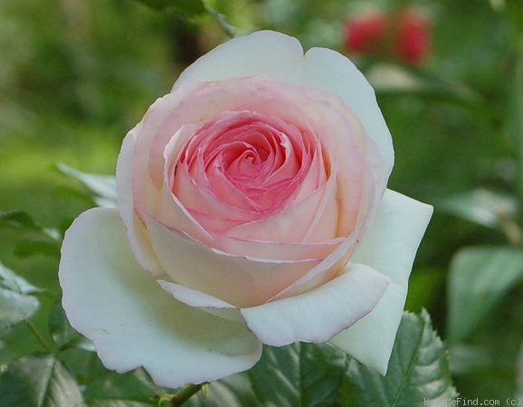 'Eden Rose 85' rose photo