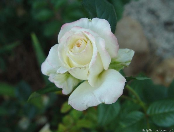 'Young Quinn ®' rose photo