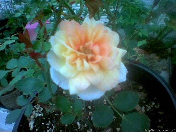 'Amber Gem' rose photo