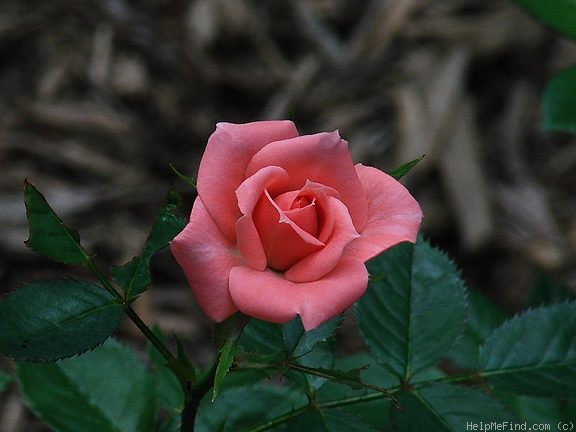 'Angel Pink ™' rose photo