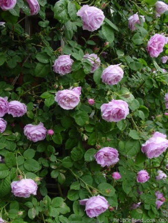'Bourbon Queen' rose photo