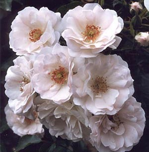 'Conard-Pyle (Star Roses)'  photo
