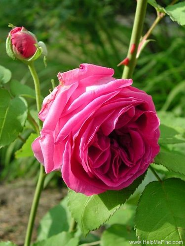 'Souvenir du Président Lincoln (bourbon, Moreau-Robert 1865)' rose photo