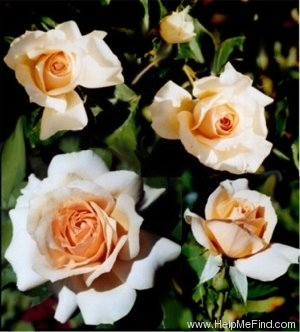 'Judy Shaw' rose photo