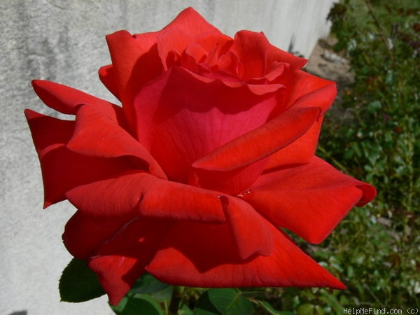 'Dolly Parton' rose photo