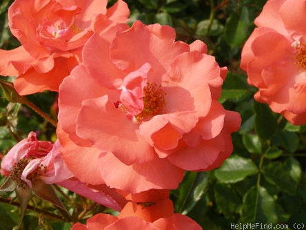 'Clarion Call' rose photo