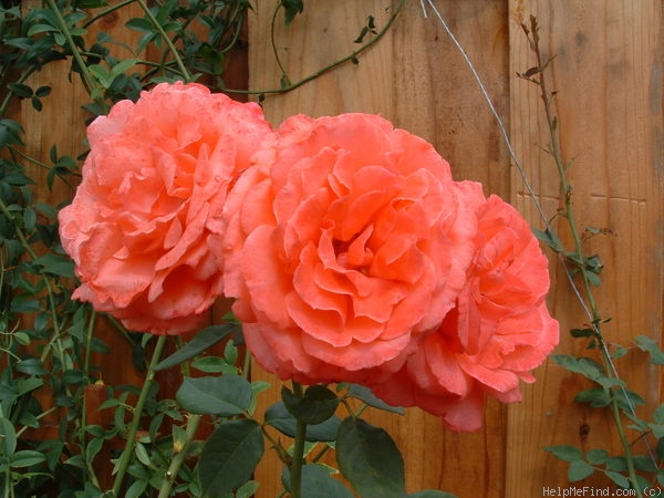 'America (Large Flowered Climber, Warriner, 1976)' rose photo