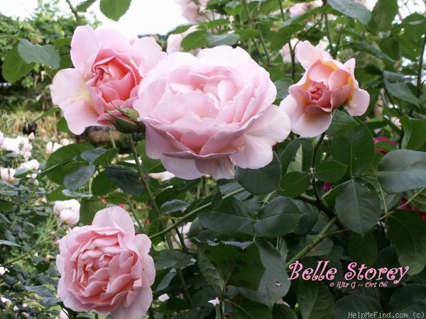 'Belle Story' rose photo
