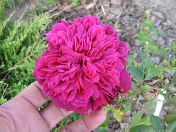 'The Prince ®' rose photo