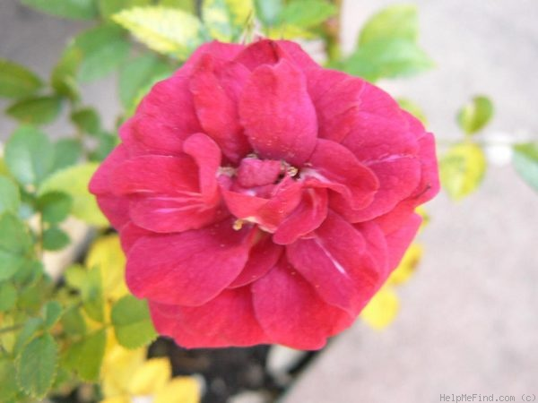 'Little Chief' rose photo