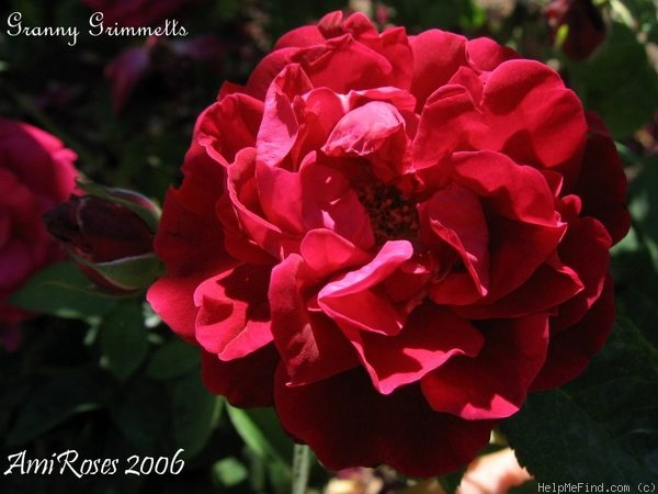 'Granny Grimmetts' rose photo