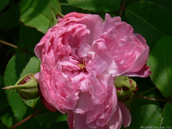 'Jacques Cartier' rose photo