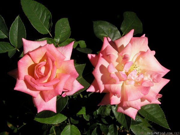'Hazel McCallion' rose photo