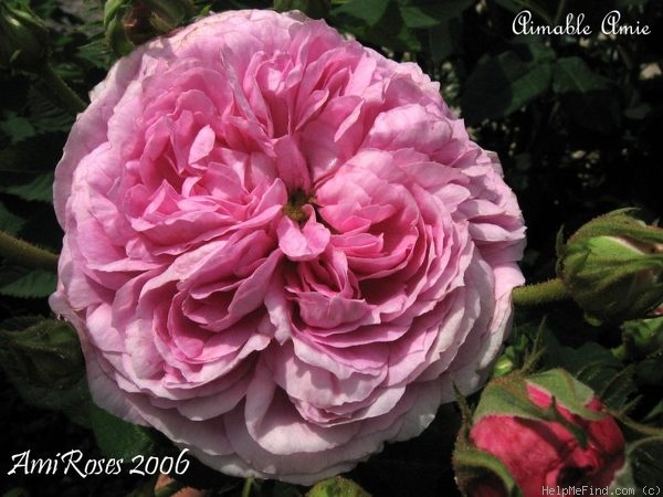 'Aimable Amie' rose photo