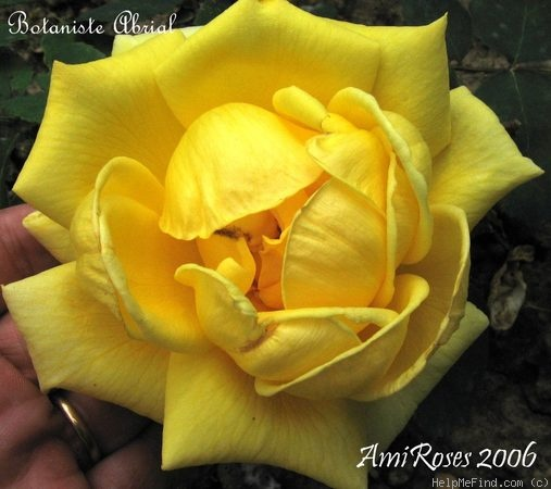 'Botaniste Abrial' rose photo