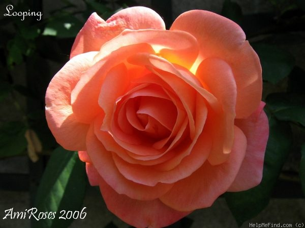 'Looping ® (Large Flowered Climber, Meilland, 1977)' rose photo