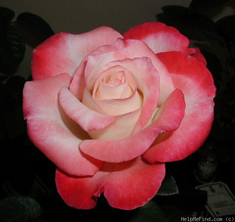 'Gemini (hybrid tea, Zary 1999)' rose photo