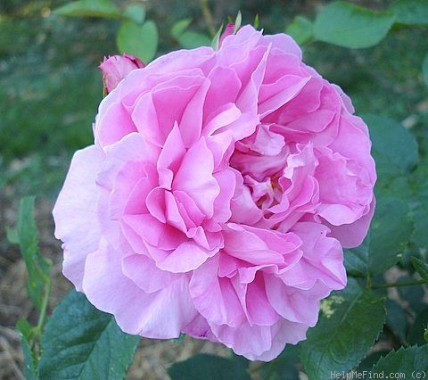 'Mary Rose ®' rose photo