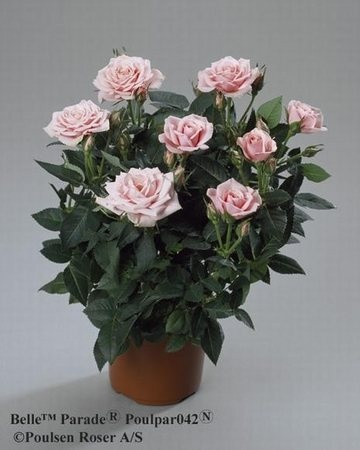 'Belle Parade (mini-flora, Olesen, 2005)' rose photo