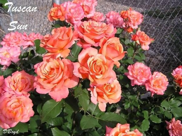 'Tuscan Sun ™' rose photo
