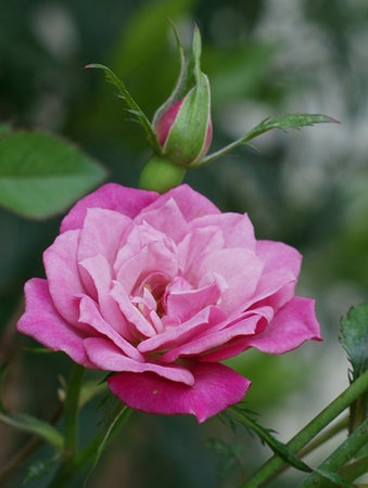'Magenta Mystique™' rose photo