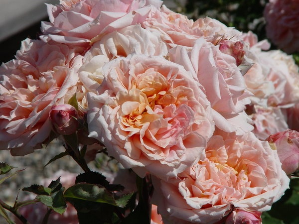 'Paul Bocuse ®' rose photo