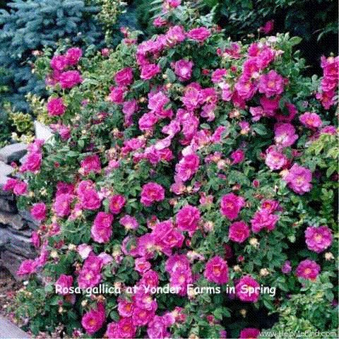 'Apothecary's Rose' rose photo