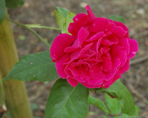 'Ards Rover' rose photo