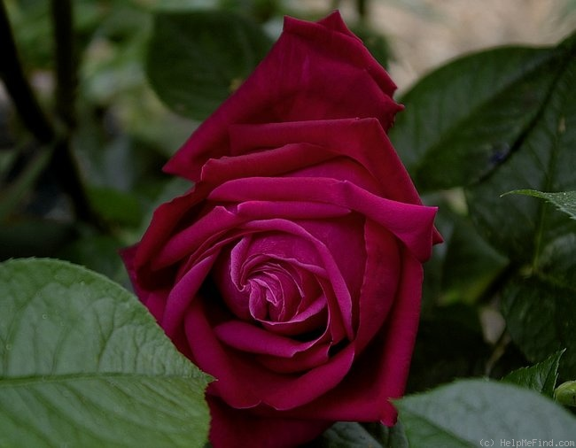 'Senteur Royale ® (hybrid tea, Tantau 2004)' rose photo