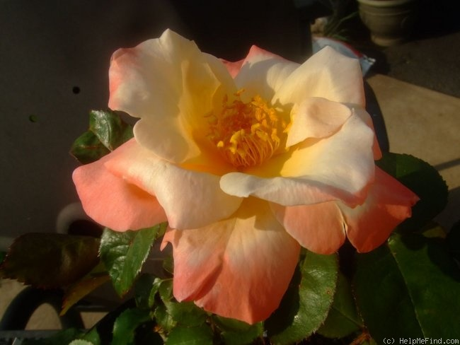 'Chanelle' rose photo