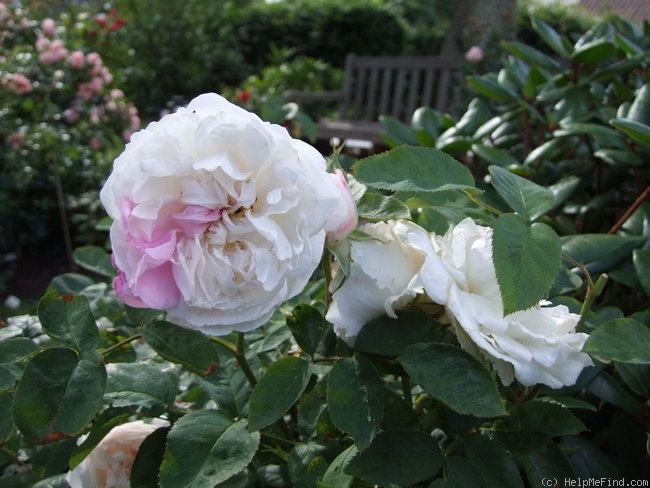 'Winchester Cathedral ®' rose photo