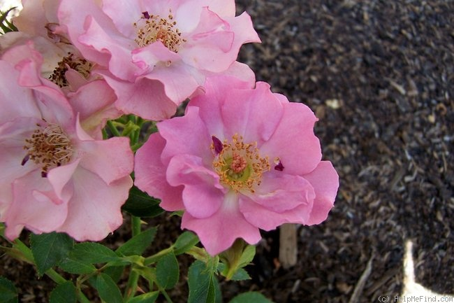 'Angel Darling' rose photo