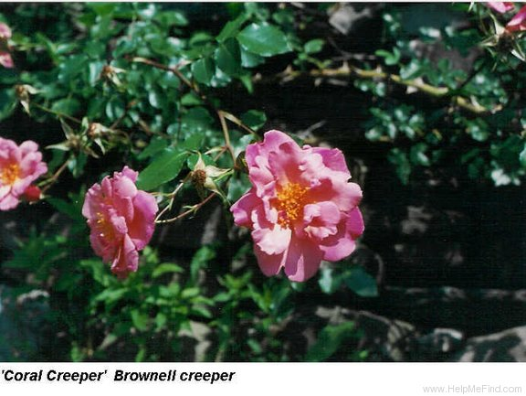 'Coral Creeper' rose photo