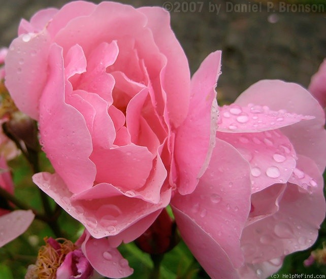 'Bow Bells ™' rose photo