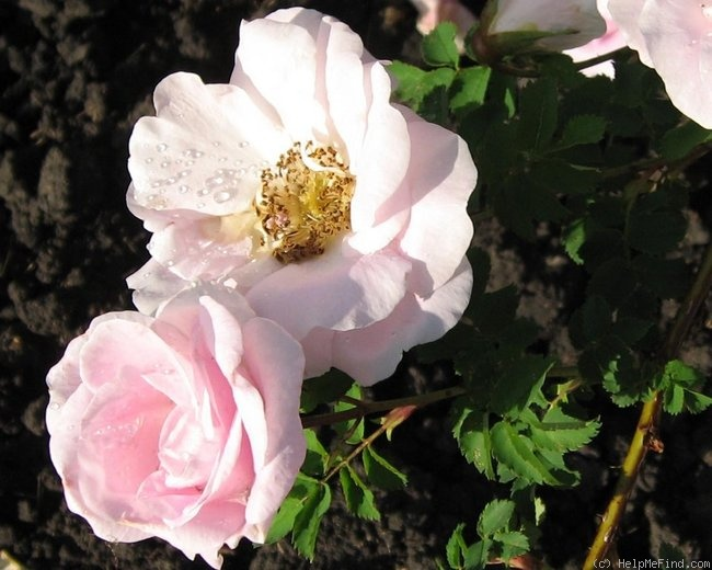 'Prairie Wren' rose photo