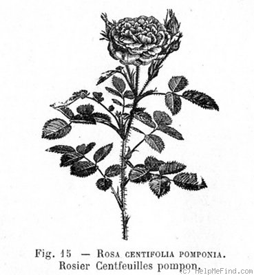 '<i>Rosa centifolia</i> var. <i>pomponia</i> Lindl.' rose photo