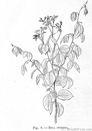 '<i>Rosa setigera</i> Michaux' rose photo