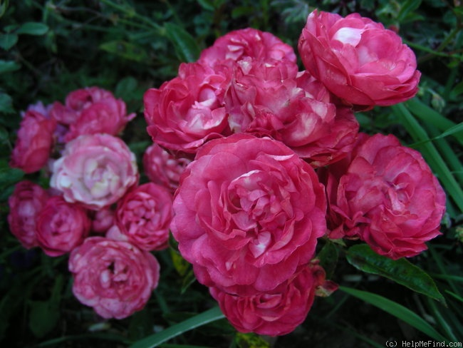 'Dick Koster' rose photo