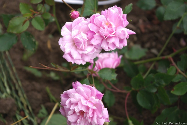 'Bouganville' rose photo