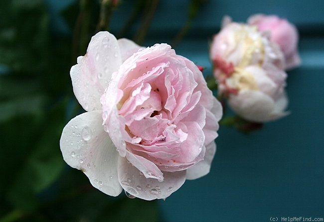 'Blush Noisette' rose photo