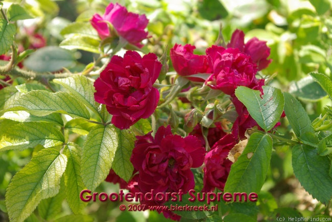 'Grootendorst Supreme' rose photo