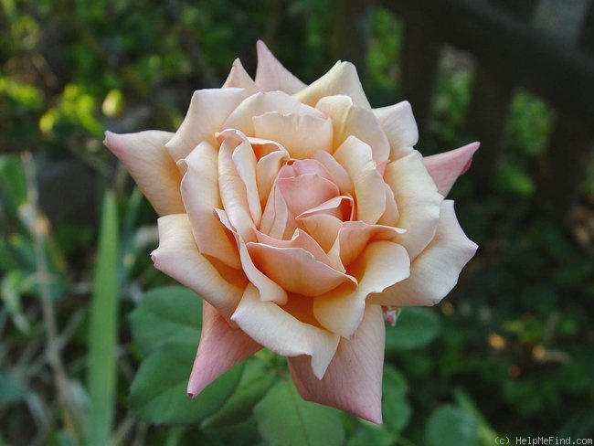 'Lady Elgin' rose photo
