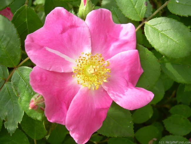 'Nearly Wild' rose photo