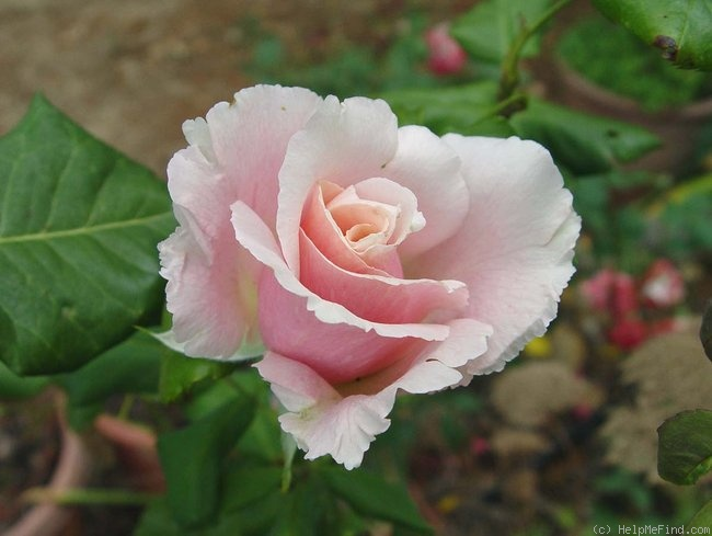 'Oyster Pearl' rose photo
